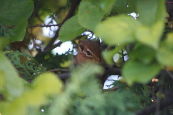 Chipmunk High in a Tree - CLICK TO ENLARGE