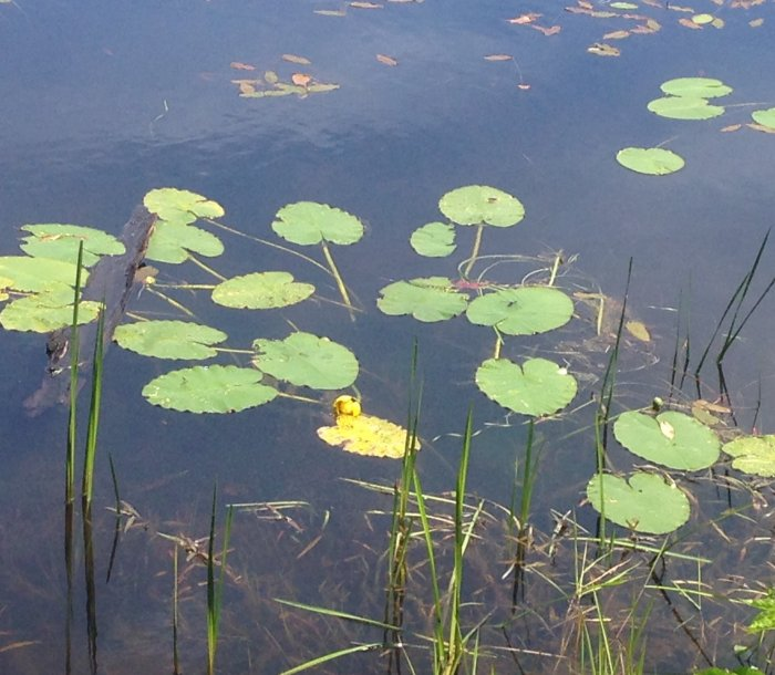 A water lily about to bloom.  Soon this pond will look like a Monet painting.